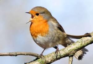 European-Robin-Erithacus-rubecula-singing